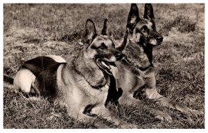 Dog   Police Dogs