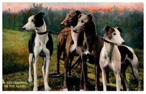 Dog  , Greyhounds  on the Alert