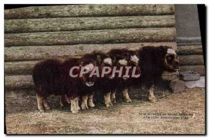 Old Postcard Her Musk Ox of young New York zoological park