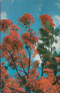 Florida Trees Royal Poinciana Tree In Full Bloom In Key West