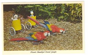 Bumper and Jasper Parrot Jungle Miami FL performing Macaws 1961 Curteich Postcar