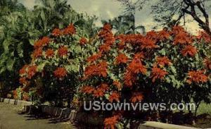 Poinsettia & Palm Honolulu HI 1952