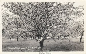RP: SHELBY , Michigan, 1946 , Cherry Blossom Time