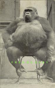 1939 Cincinnati Ohio Card: Susie the Graf Zeppelin Gorilla on Display at Zoo