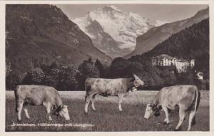 RP: Dairy Cows , INTERLAKEN , Switzerland, 1910s