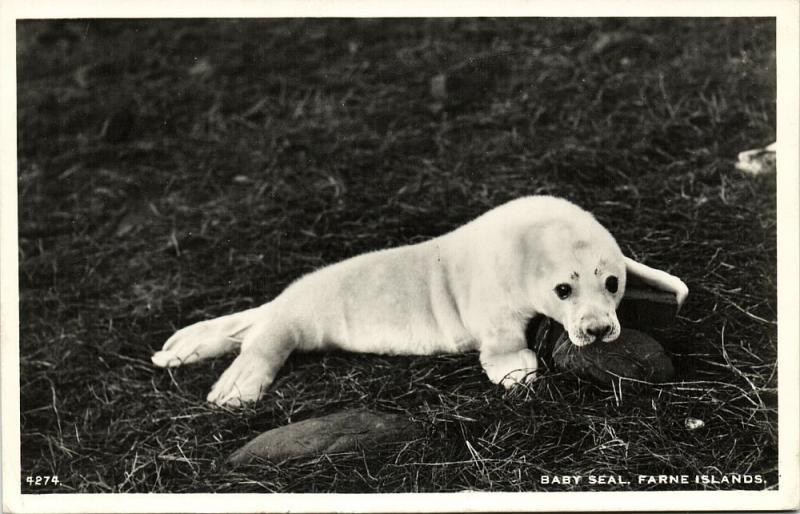 Farne Islands, Sweet Baby Seal (1962) RPPC