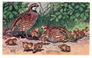 13816  Bob WHite Quail     America's Wildlife Resorces Wildlife series
