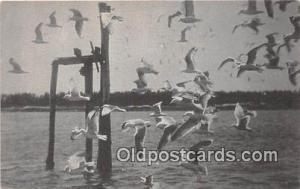 Sea Gulls Postcard Post Card  Sea Gulls