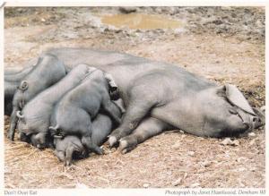 Dereham Pigs Cattle Stuffed Dont Overeat Norfolk Postcard