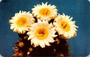 Arizona Giant Saguaro Cactus Blossoms