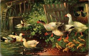 Ducks - Birds - Lake  - Chickens - Vintage Art Postcard - PC
