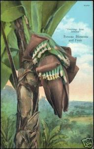 Jamaica, Banana Blossoms and Fruit (1930s)