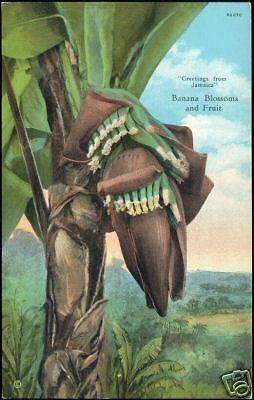 Jamaica, Banana Blossoms and Fruit (1930s)