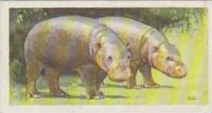 Brooke Bond Tea Trade Card Wildlife In Danger 1963 No 13 Pygmy Hippopotamus