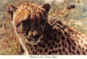 Cheetah - Lion Country Safari