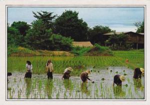Thailand Thai Farmers Transplanting Seedlings