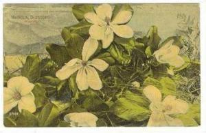 Magnolia Blossoms In Florida, 1900-10s