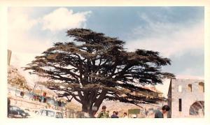 Cedars, Lebanon Postcard, Carte Postale Lumber from Cedar, used in Temple Con...