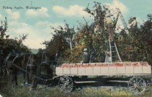 WASHINGTON, 1911; Picking Apples