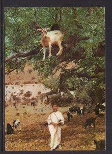 Boy,Goats,Morocco BIN