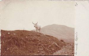RP: Cow on hillside, lei monte Capponi, 00-10s