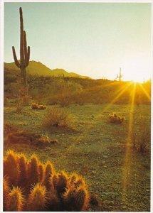 Arizona Mesa Saguaro And Hedgehog Cacti Glisten In The Morning Sun