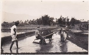 RP: Malang, Indonesia, 20-40s ; Men plowing rice field