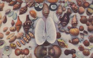 Florida Sea Shells Found Along Gulf Of Mexico 1957 Curteich