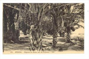 BISKRA.- Regimes de Dattes sur les Palmiers, Algeria , 00-10s