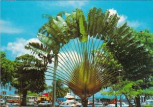 Trees Giant Traveler's Palm
