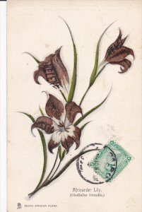 SOUTH AFRICA, 1900-1910's; Africander Lily, South African Flora