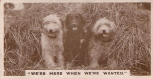 Dog Dogs Lost In Farm Bushes Old German Real Photo Cigarette Card