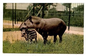 South African Tapir & Youngster