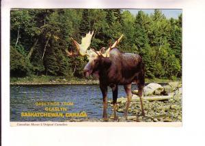 Candian Moose, Glaslyn, Saskatchewan