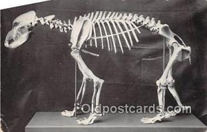 Skeleton of Cave Bear Field Museum of Natural History, Chicago, USA Postcards...