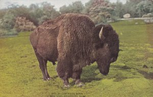 BRONX, New York, 1900-1910s; American Bison, New York Zoological Park