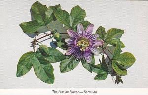 The passion flower, Bermuda,40-60s