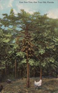 One Year Old Paw Paw Tree In Florida 1913