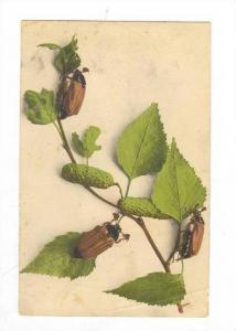 3 Beetles on branck eating leaves, PU-1922