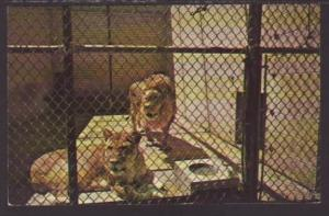 Lions,Seneca Park Zoo,Rochester,NY Postcard