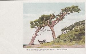 PACIFIC GROVE , California , 1901-07 ; The Ostrich Trees