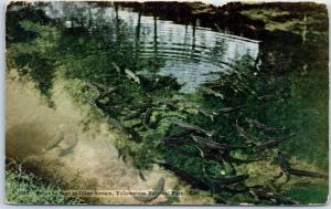 Yellowstone National Park Postcard Trout as Seen in Clear Stream HHT c1920s