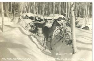 1945 In The Northwoods, Michigan ~ Deer