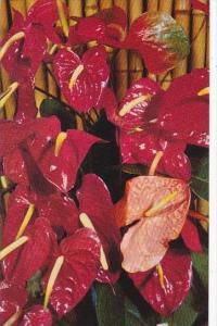 Hawaii Honolulu Red Anthurium