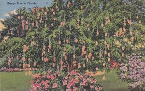 Mango tree in Florida, 30-40s