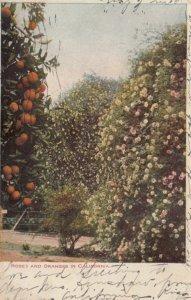 Roses and Oranges in CALIFORNIA, 1901-07