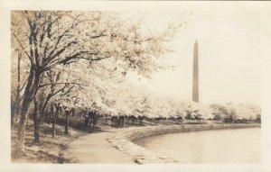 RP: WASHINGTON DC, 1910-20s; Japanese Cherry Blossoms along walkway