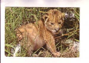 Lion Cub, Africa