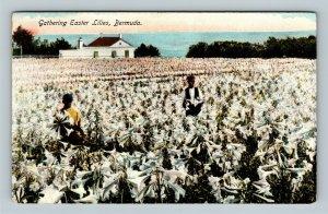 Gathering Easter Lilies In Bermuda, Vintage Postcard