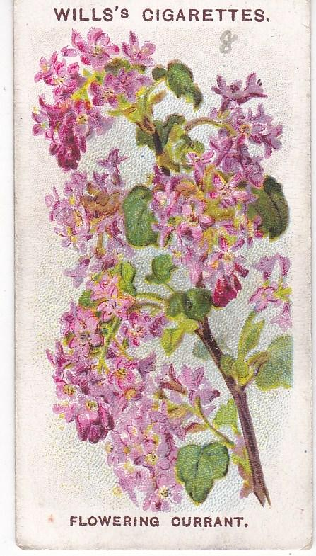 Cigarette Card Wills Old English Garden Flowers 2nd Series No 8